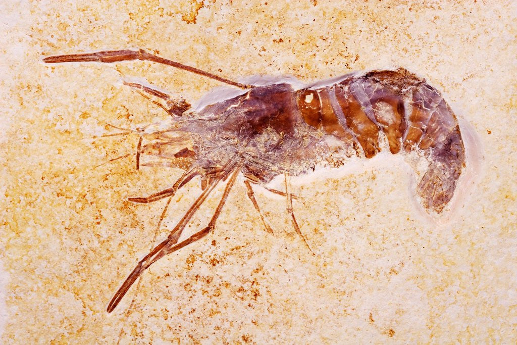 Detail of Crustacean Fossil from Solnhofen Limestone Formation by Corbis