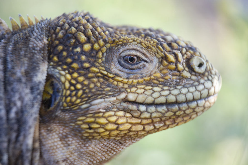 Detail of Close-up of Land Iguana by Corbis
