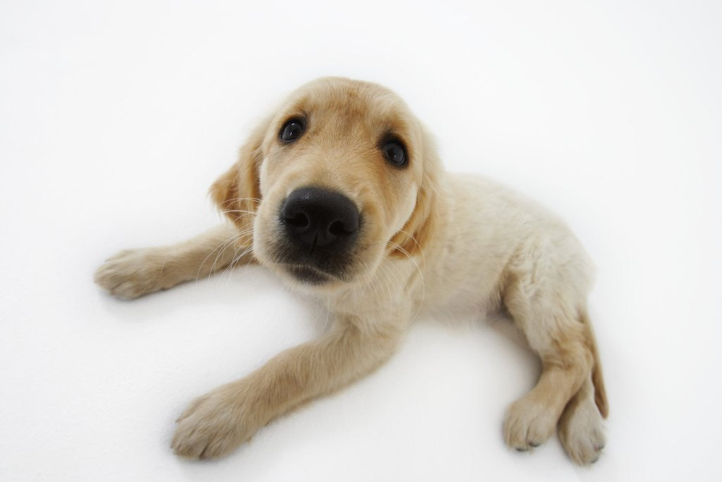 Detail of Golden Retriever Puppy Lying Down by Corbis