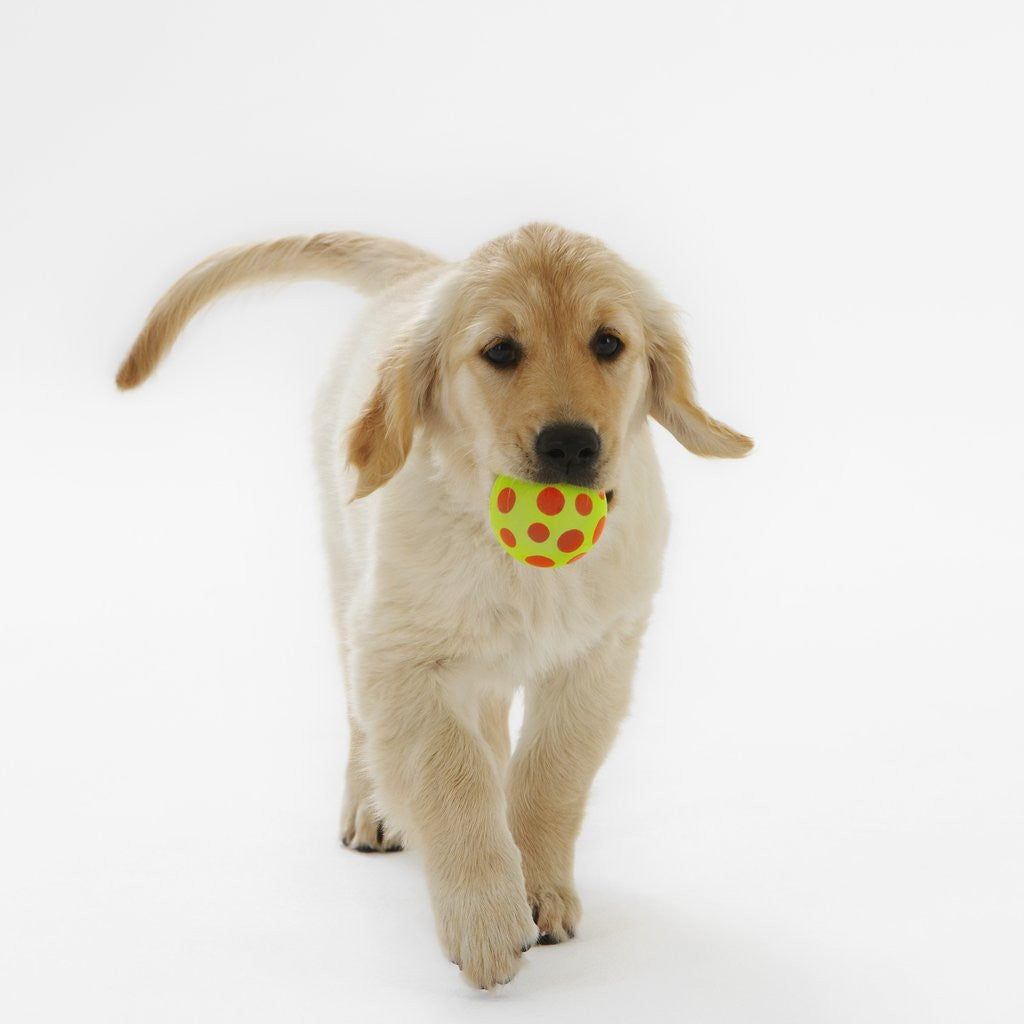 Detail of Golden Retriever Puppy Playing with Ball by Corbis
