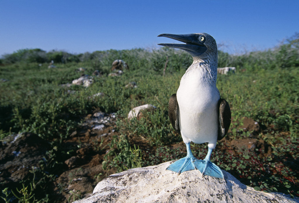 Detail of Blue Footed Boobie in Galapagos Islands National Park by Corbis