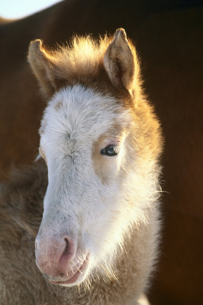 Detail of Spanish Mustang Buffalo Horse Foal by Corbis