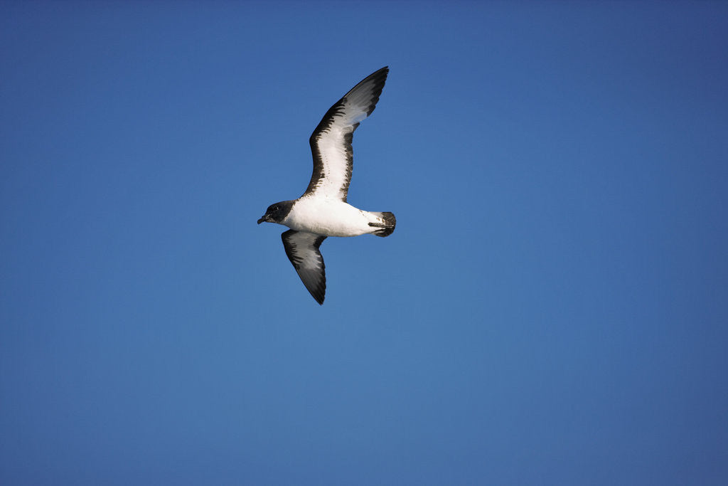 Detail of Cape Petrel in Flight by Corbis