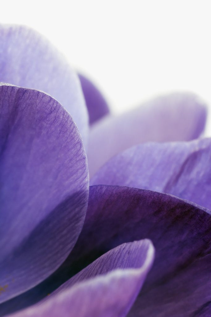 Detail of Crocus Petals by Corbis