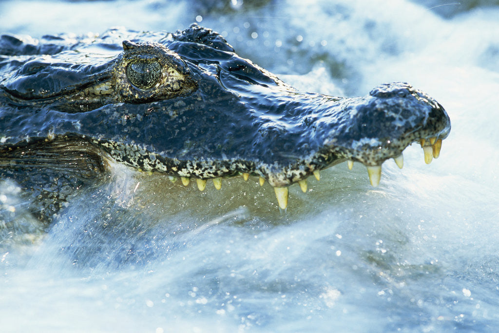 Detail of Caiman Waiting in Running Water by Corbis