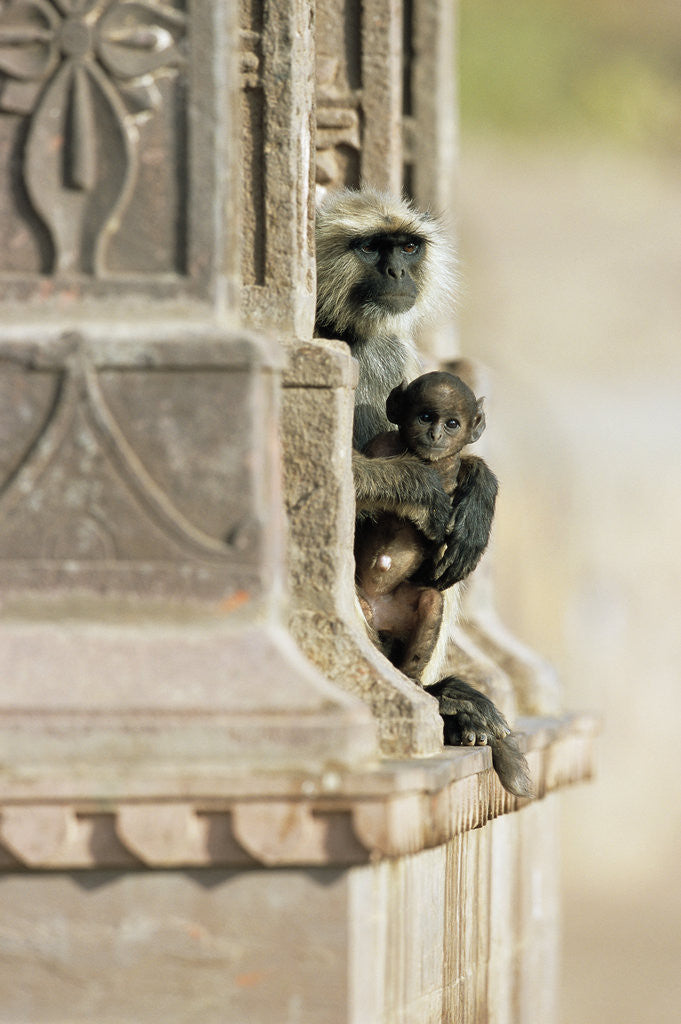 Detail of Gray Langur Monkey with Baby by Corbis