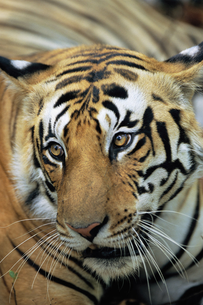 Bengal Tiger by Corbis