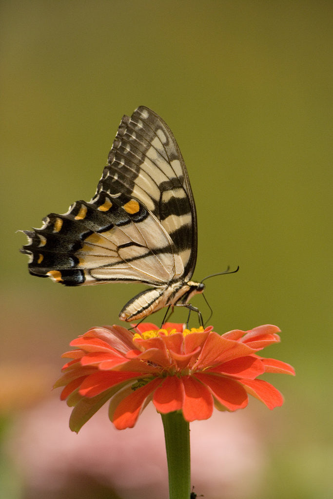 Detail of Butterfly by Corbis