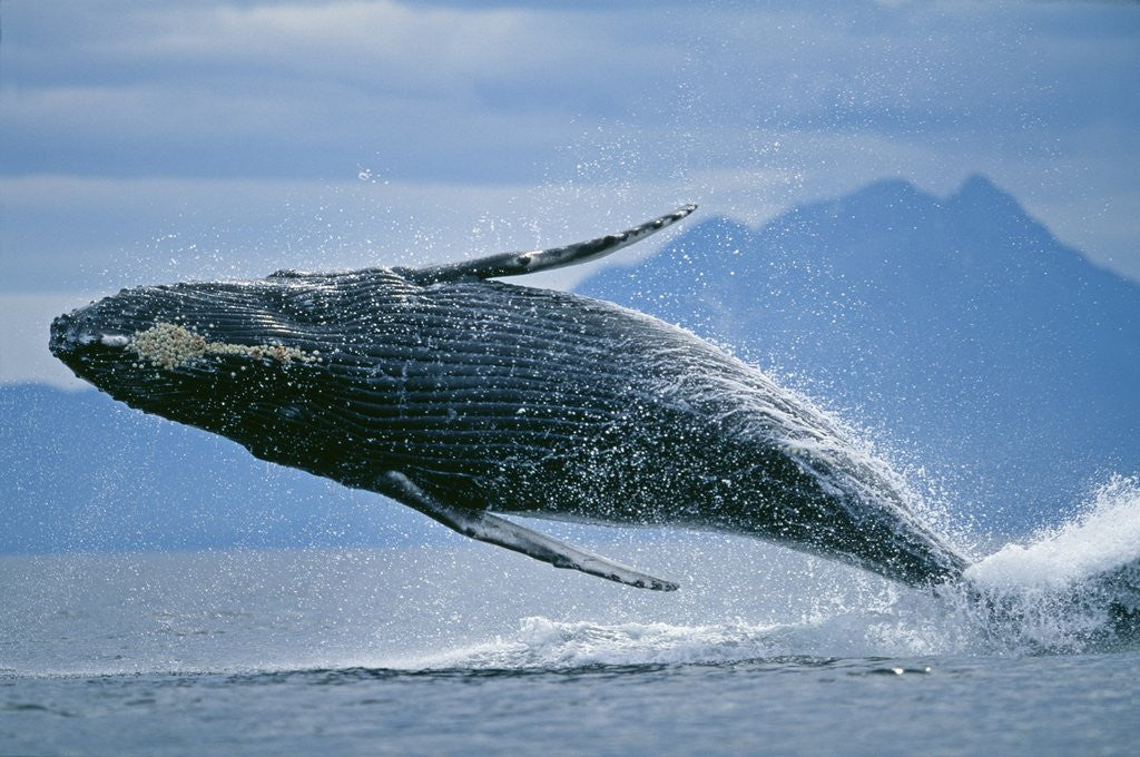 Detail of Breaching Humpback Whale by Corbis