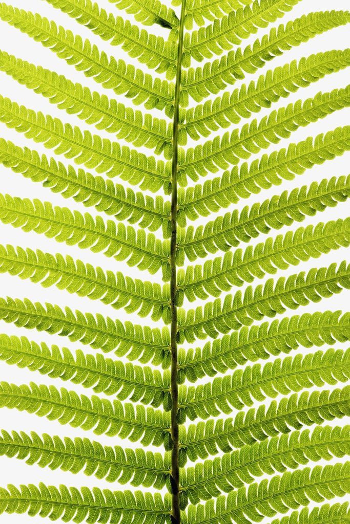 Fern Leaf by Corbis