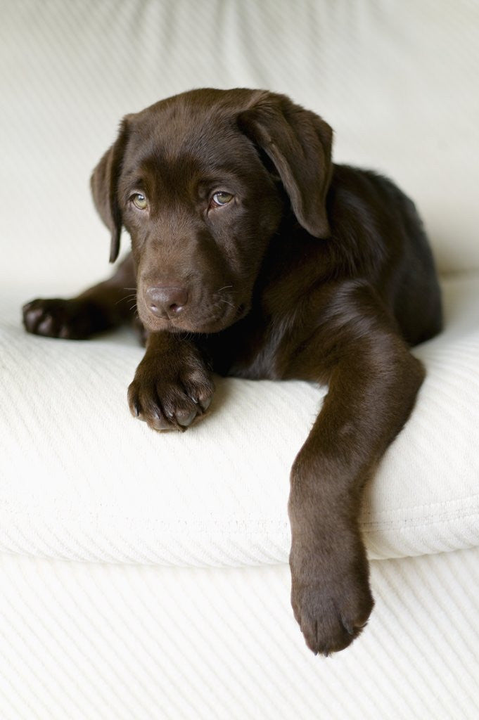 Detail of Chocolate Lab Puppy by Corbis