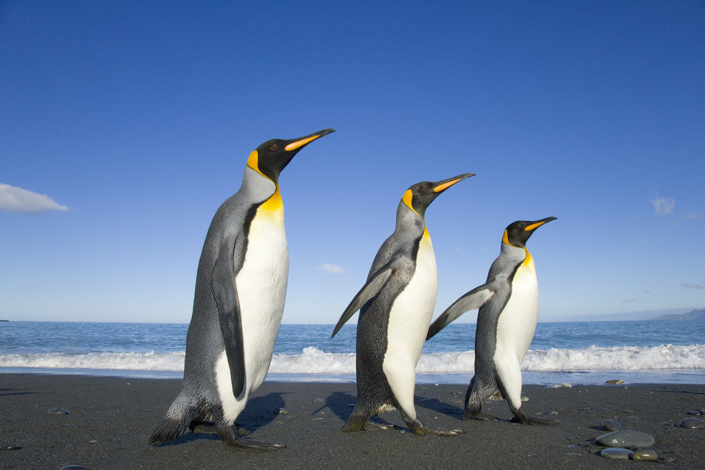 Detail of King Penguins Walking on Beach by Corbis