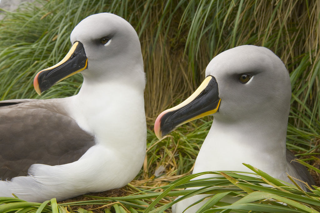 Detail of Pair of Mated Grey-Headed Albatross Adults by Corbis