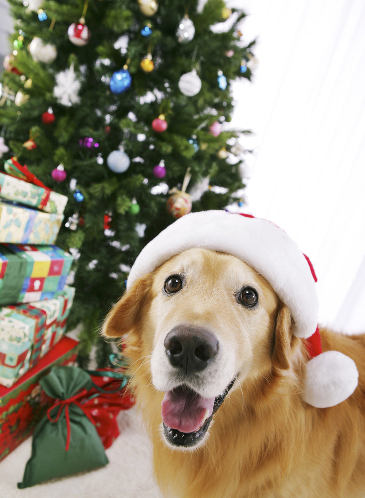Detail of Golden Retriever with Santa Hat by Christmas Tree