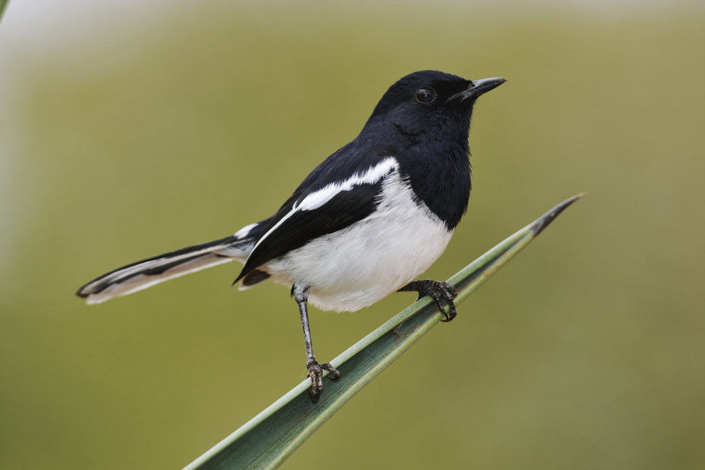 Detail of Madagascar Magpie Robin by Corbis
