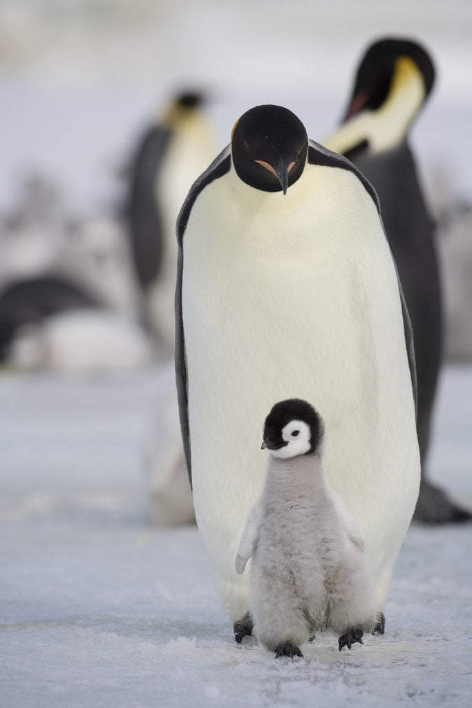 Detail of Emperor Penguin and Chick in Antarctica by Corbis