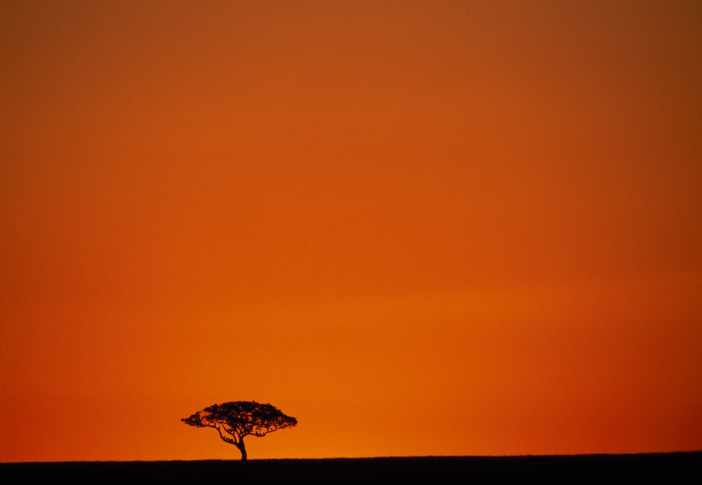 Detail of Lone Acacia Tree at Sunrise by Corbis