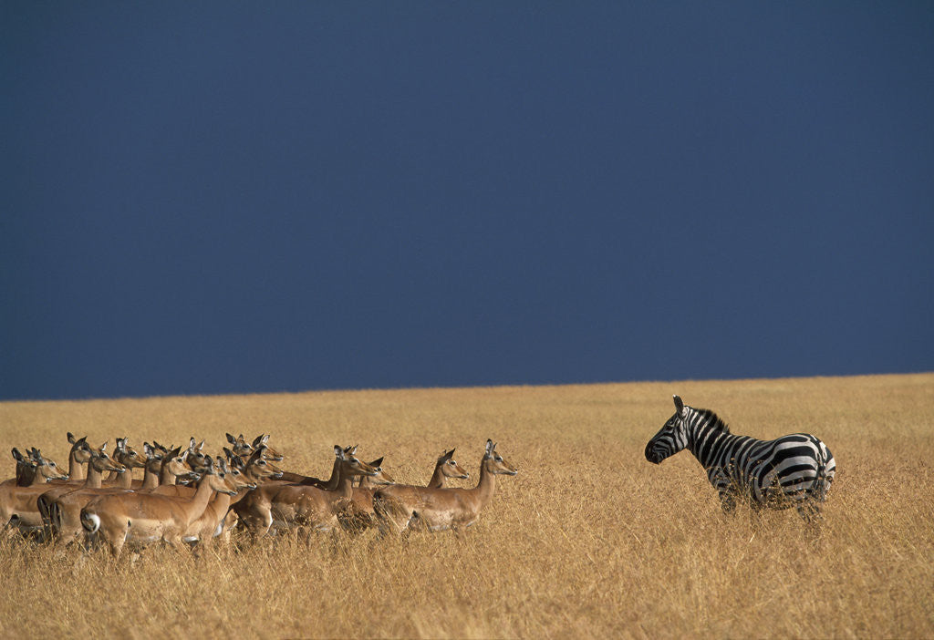 Detail of Herd of Impala Facing a Zebra on Savanna by Corbis