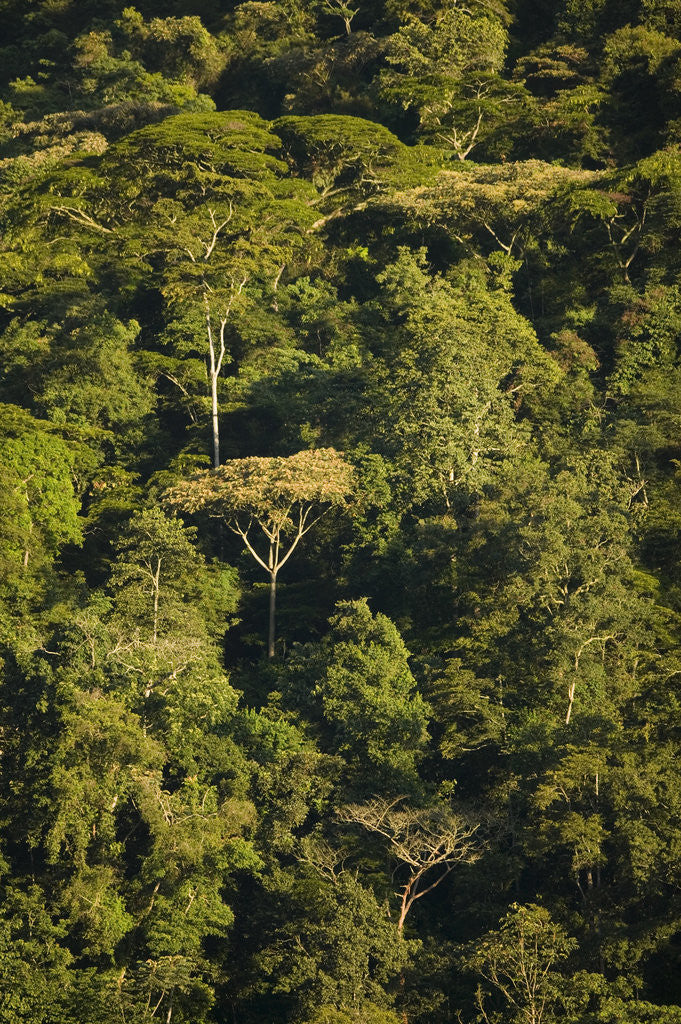 Rainforest Bwindi Impenetrable National Park by Corbis