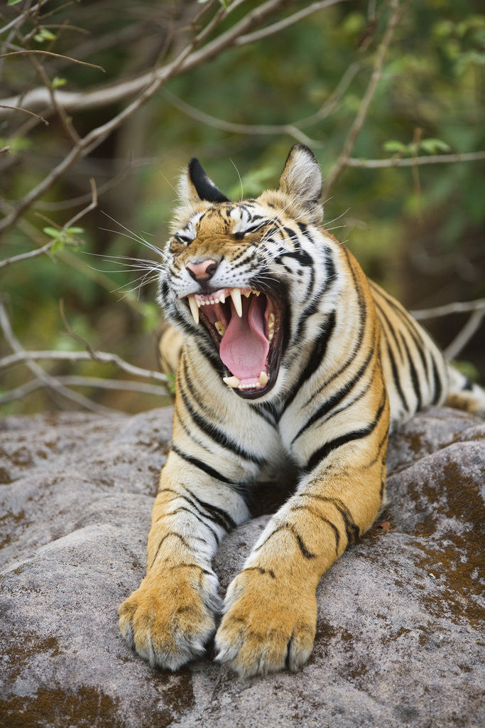 Detail of Bengal Tiger Cub Yawning by Corbis