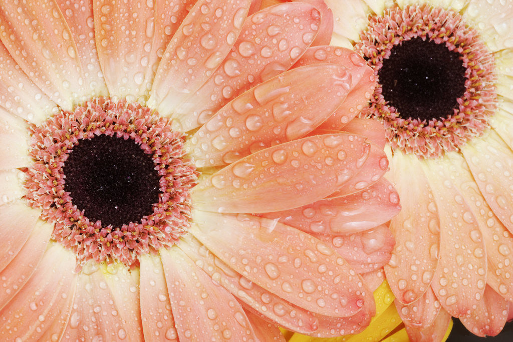 Detail of Barberton Daisies by Corbis