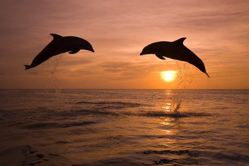 Detail of Bottlenosed Dolphins Leaping at Sunset by Corbis