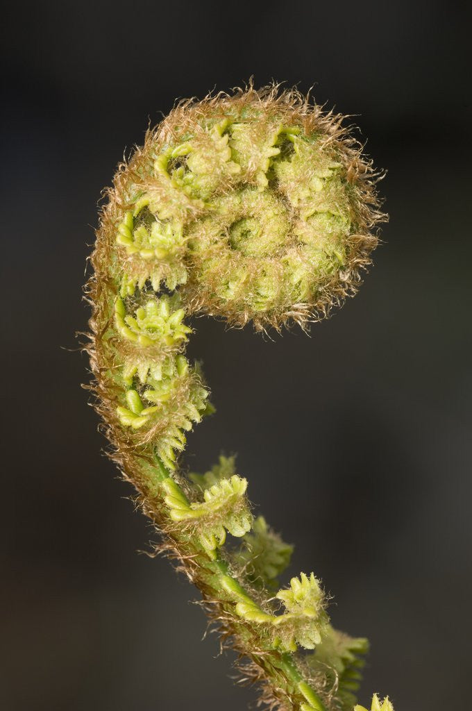 Detail of Close-up of Fern Fiddlehead by Corbis