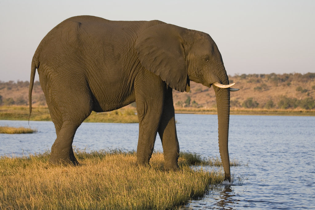 Detail of Elephant Drinking Water by Corbis