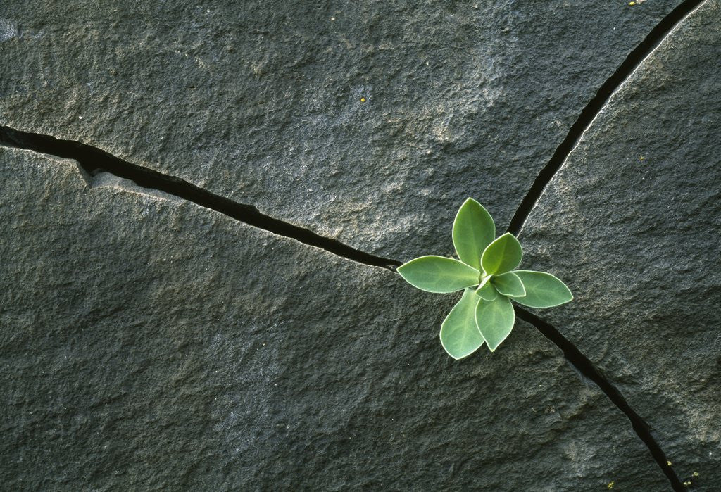 Detail of Plant Growing in Cracked Boulder by Corbis