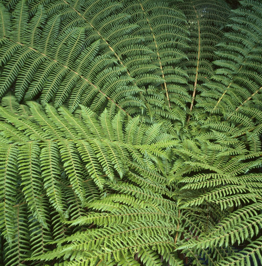 Detail of Fern Fronds by Corbis