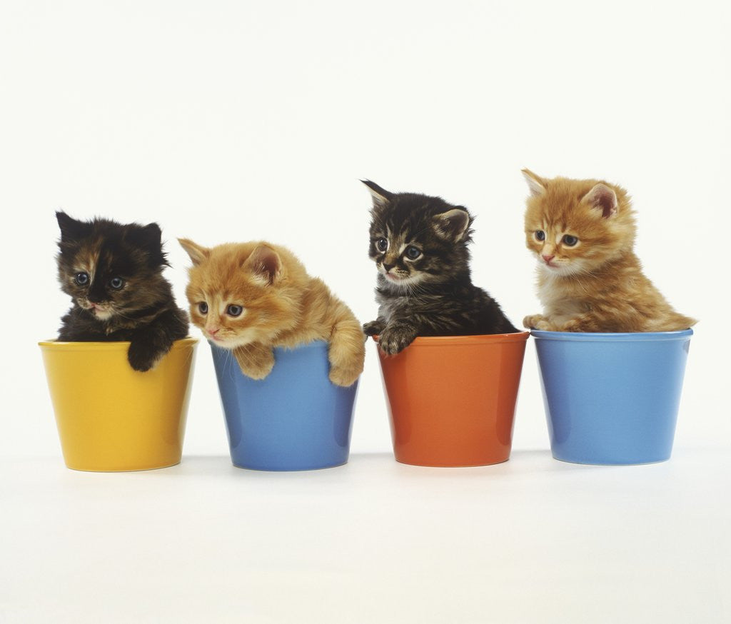 Detail of Four Kittens in Plastic Cups by Corbis
