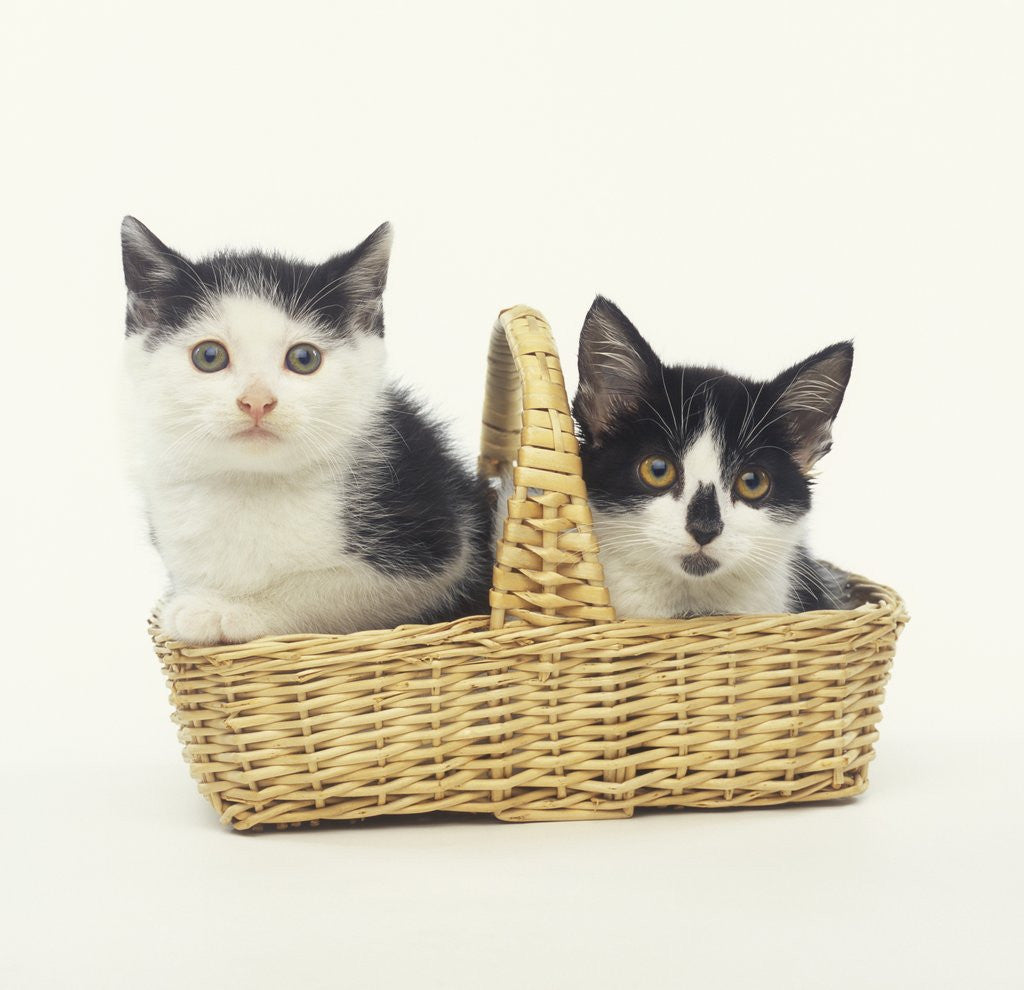 Two Black and White Kittens Sitting in a Basket