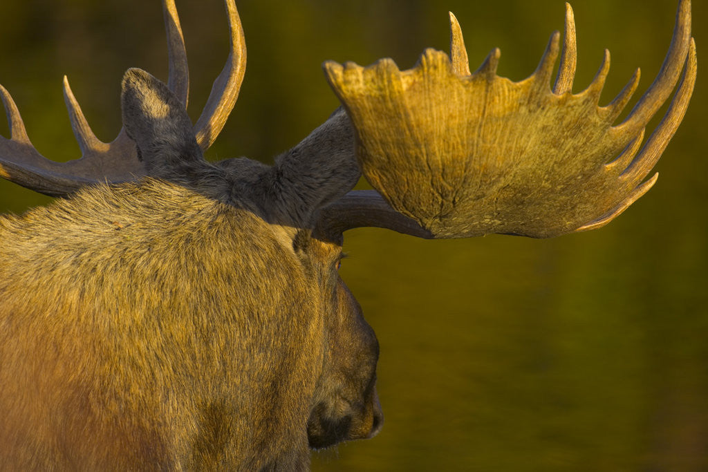 Detail of Close-Up of Moose Bull with Large Antlers by Corbis