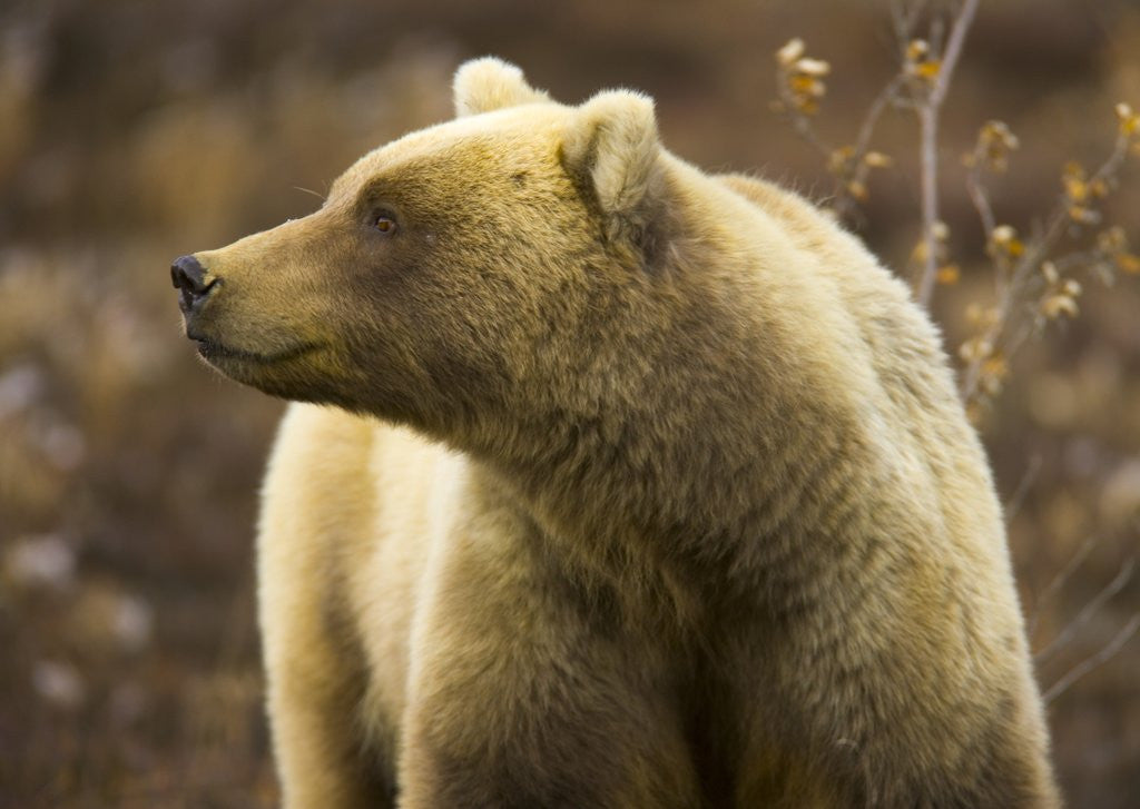 Detail of Grizzly Bear Female in Tundra by Corbis