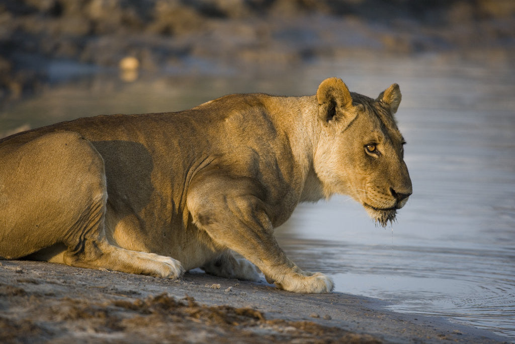 Lioness with Chin Wet from Drinking