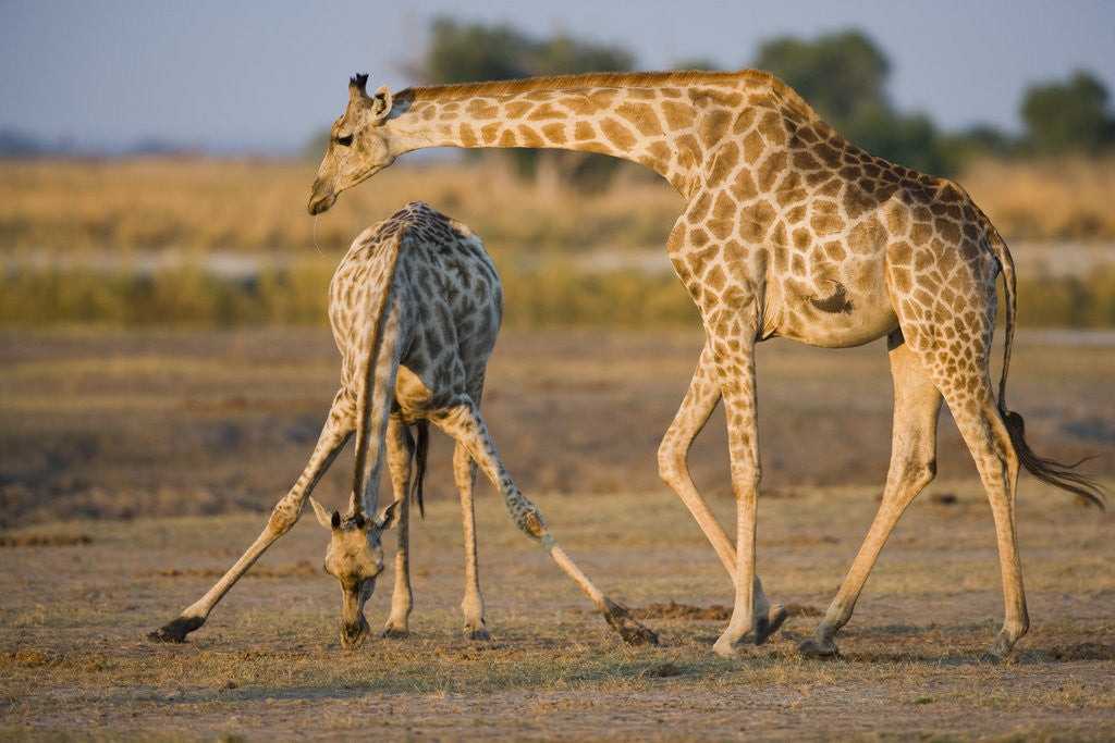 Detail of Giraffe Bending over Giraffe with Splayed Legs by Corbis