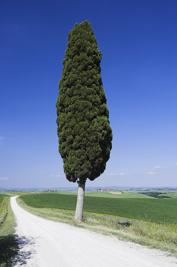 Detail of Cypress Tree by Unpaved Road by Corbis