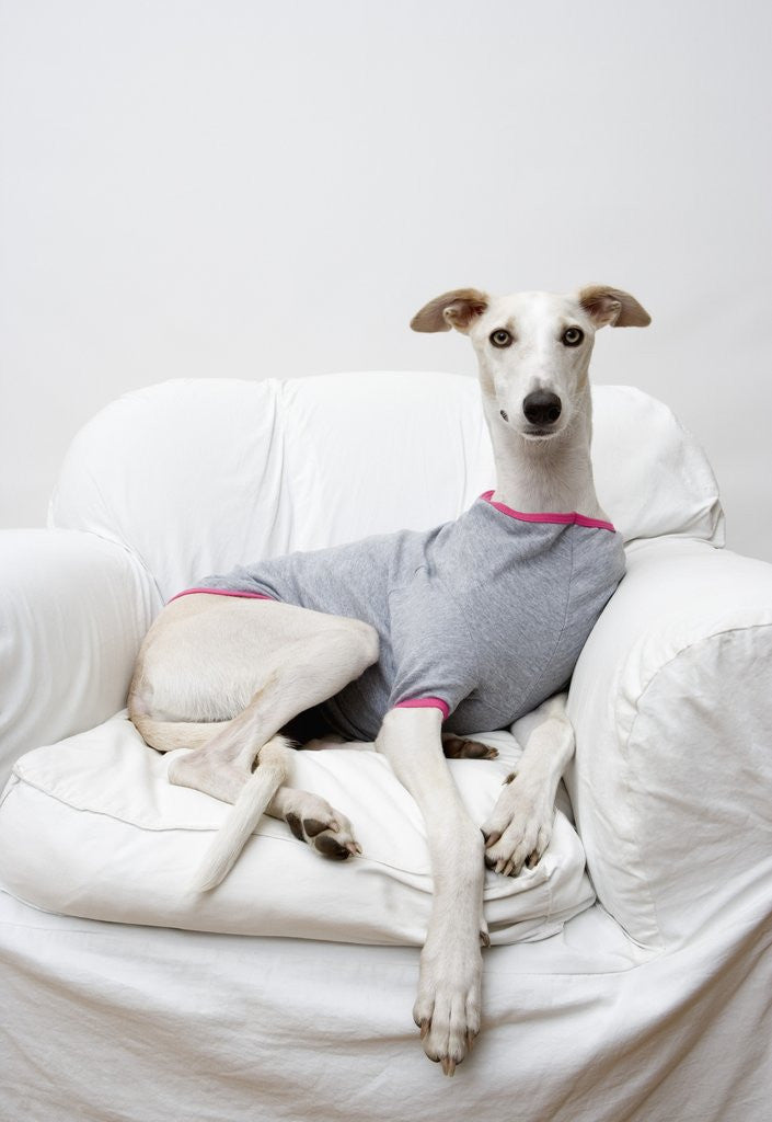 Detail of Greyhound Wearing a T-Shirt by Corbis
