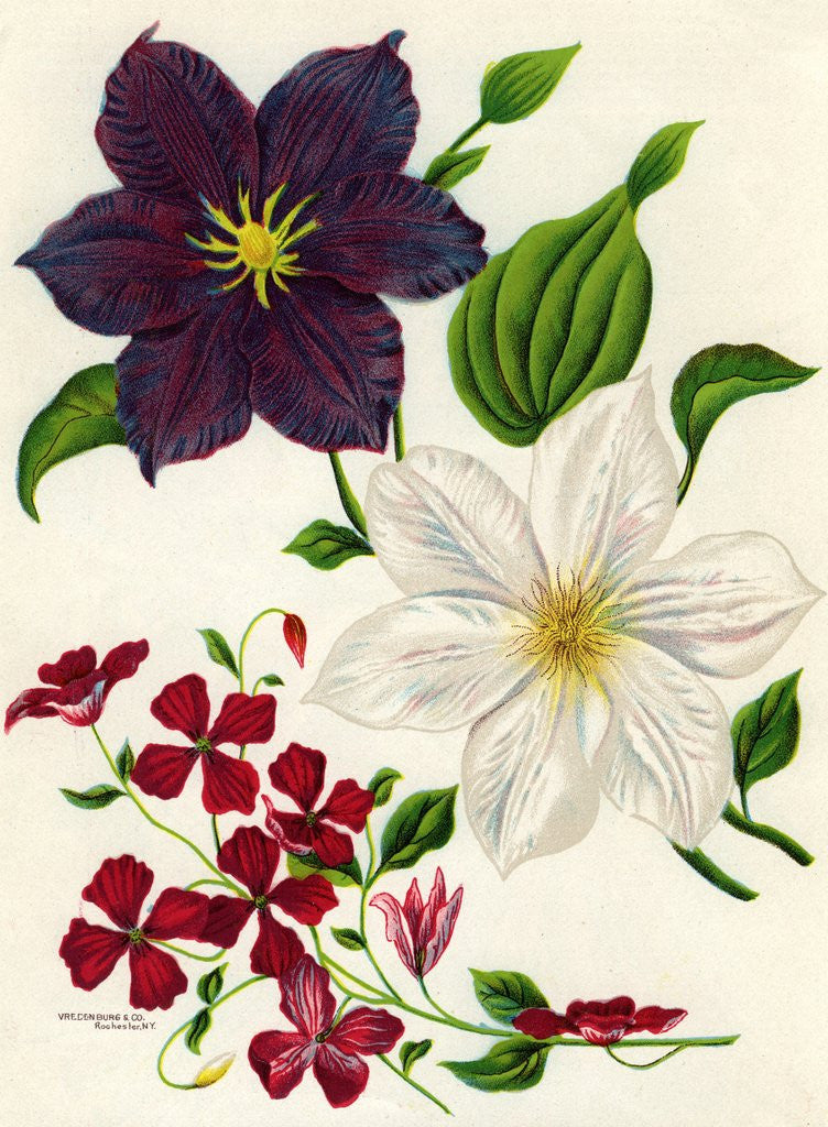 Illustration of White and Purple Clematis