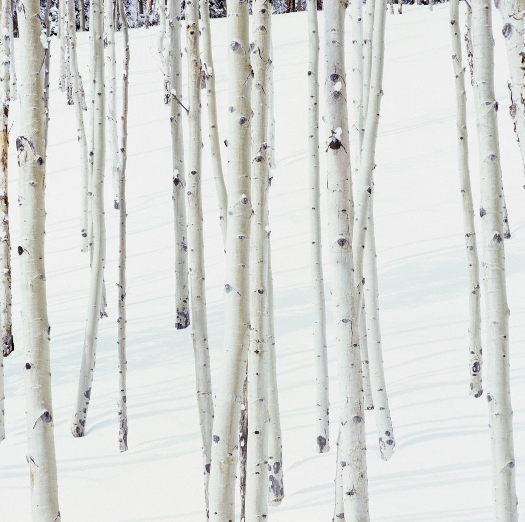 Detail of Aspen Trees in Snow by Corbis