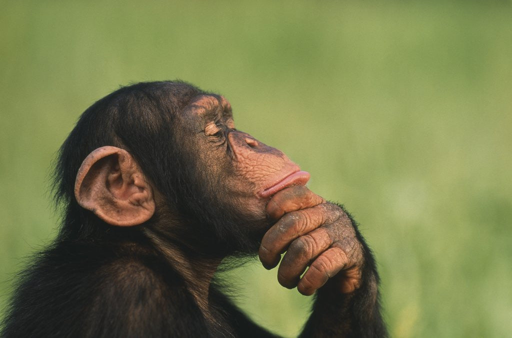 Detail of Chimpanzee Resting Chin in Hand by Corbis