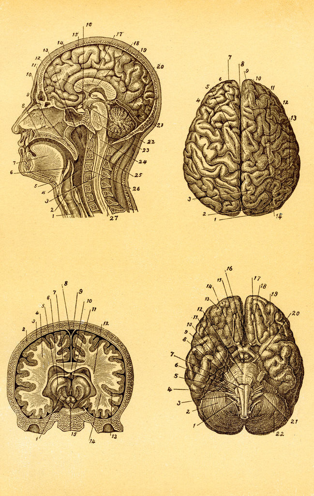Detail of Cutaway and Profile Diagrams of the Human Brain by Corbis