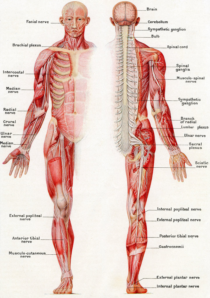Detail of Illustration of the Brain, Spinal Cord and Nerves of the Human Male by Corbis