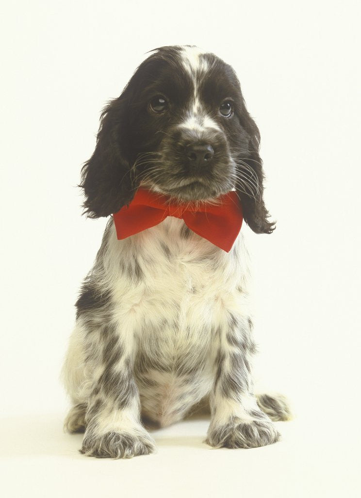 Black and White Springer Spaniel Puppy with Bow Tie by Corbis