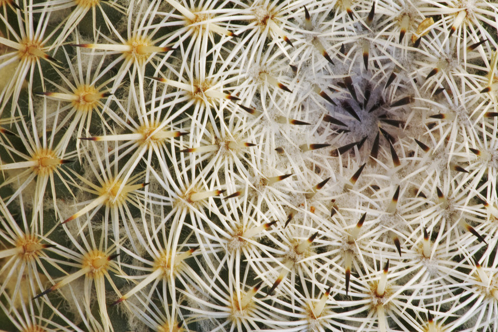 Detail of Cactus Thorns by Corbis
