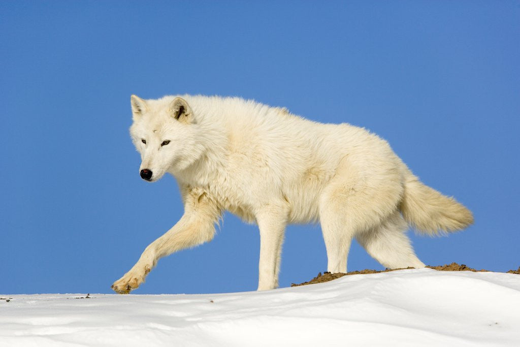 Detail of Arctic Wolf Against Blue Sky by Corbis