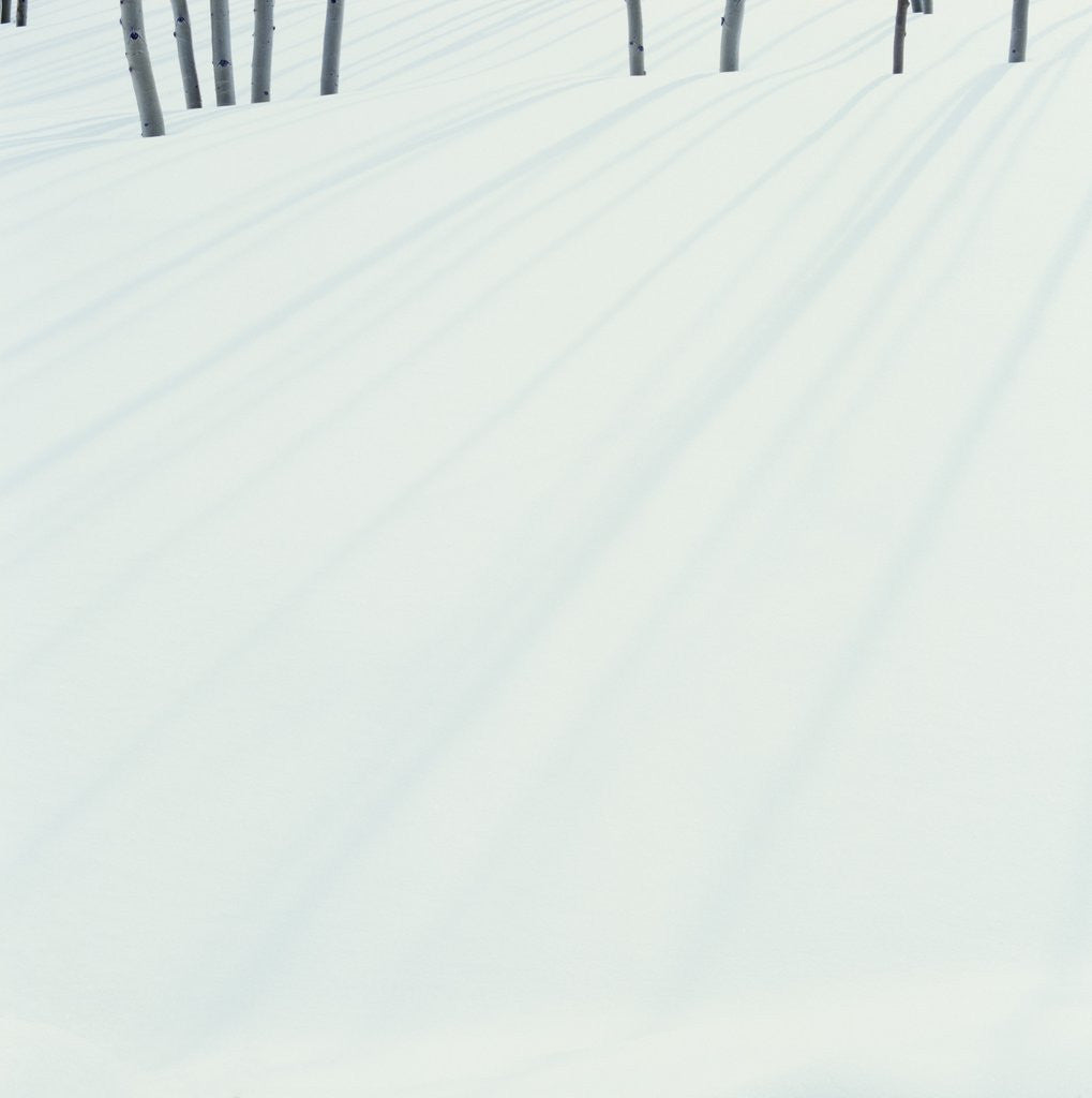 Detail of Shadows of Trees on Fresh Snow by Corbis