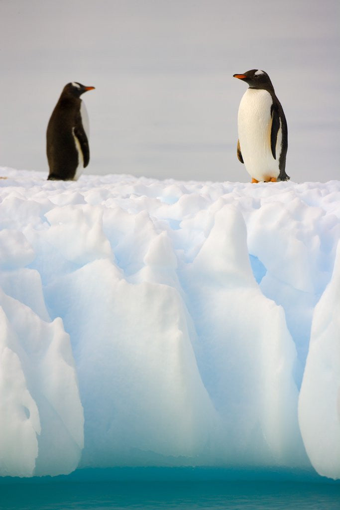 Gentoo Penguins Standing on Ice Floe by Corbis