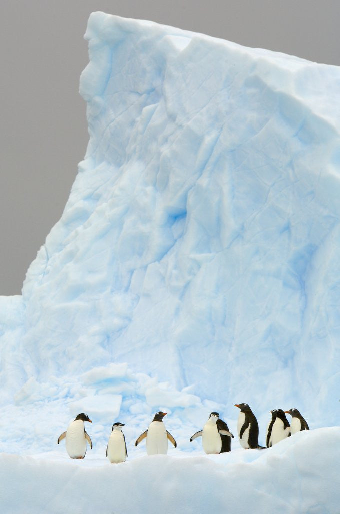 Detail of Gentoo and Chinstrap Penguins on Iceberg in Gerlache Strait by Corbis