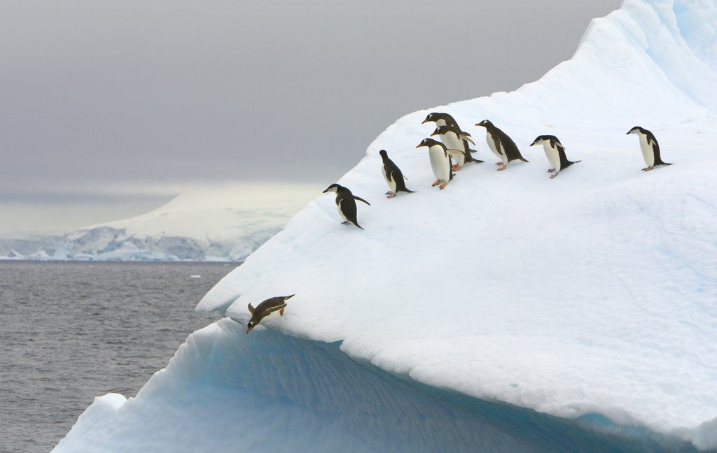 Detail of Gentoo Penguin Jumping Off Iceberg in Gerlache Strait by Corbis